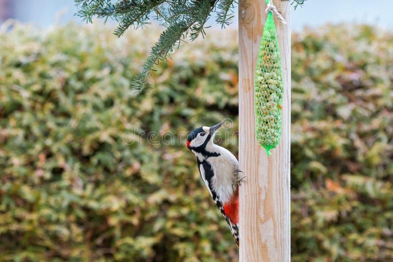 Grande pássaro manchado do pica-pau que pendura na associação de madeira com engrenado fotografia de stock royalty free