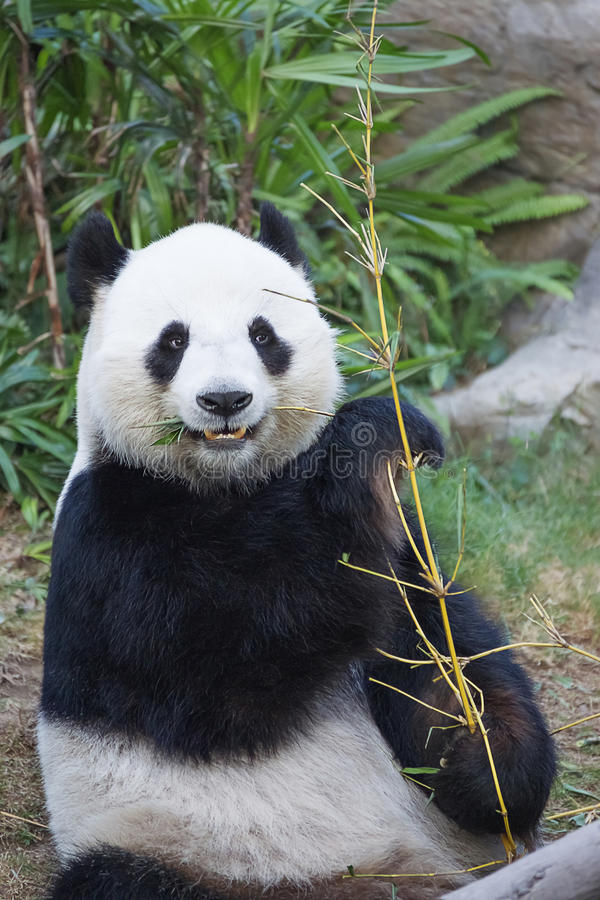 Grande panda che mangia bambù fotografie stock libere da diritti
