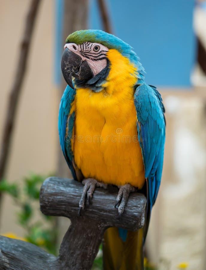 Grande pappagallo blu e giallo che si siede sul ramo fotografie stock libere da diritti