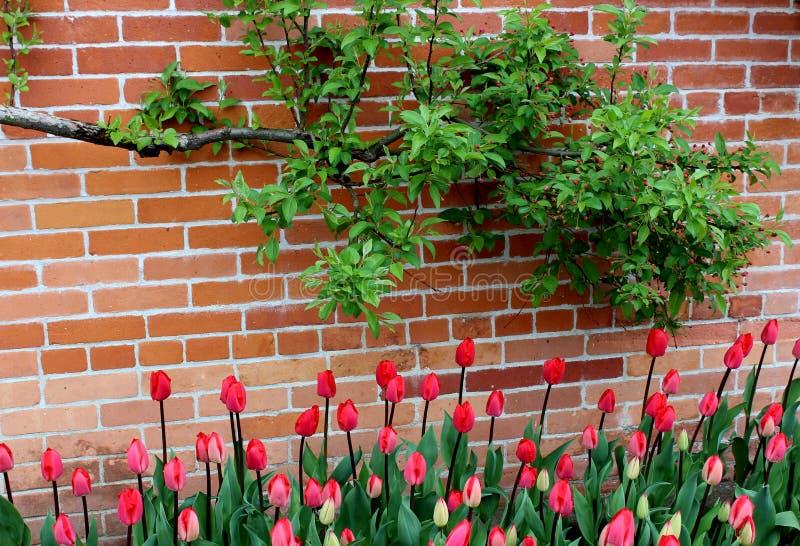 Grande parede de tijolo com os ramos de árvore que penduram sobre a cama colorida de tulipas da mola foto de stock