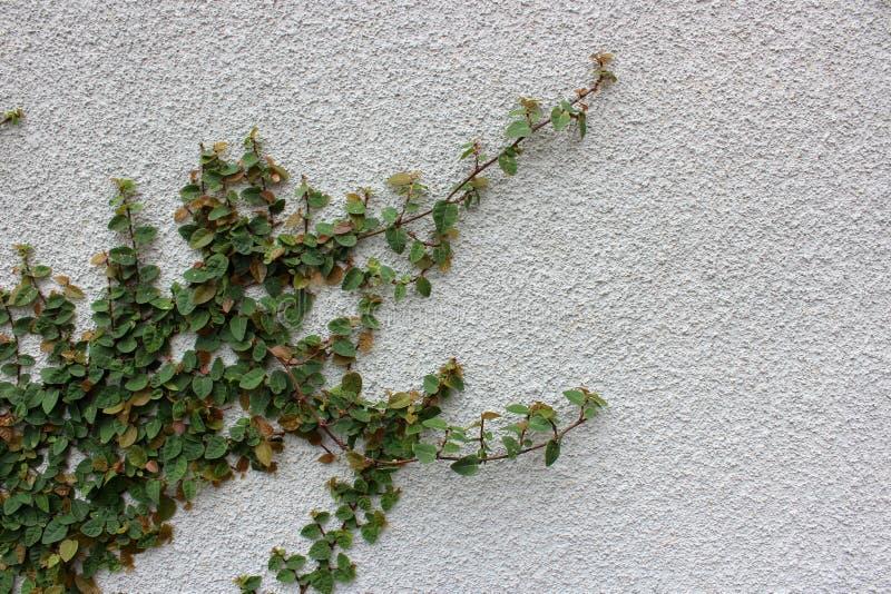 Grande parete dello stucco con l'edera fertile che trascina attraverso il fronte di  immagine stock libera da diritti