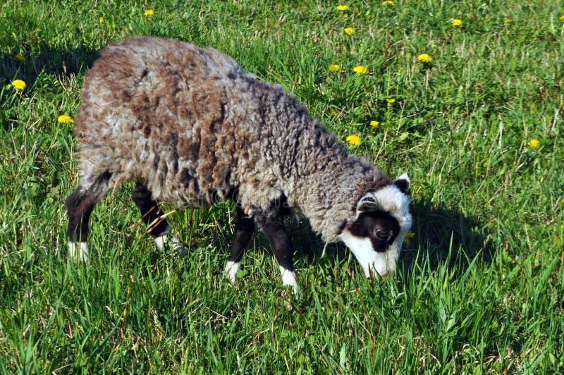 Grande passeggiata riccia delle pecore intorno al campo immagine stock