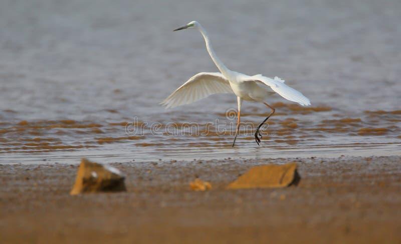 Grande passeio do pássaro do egret fotografia de stock