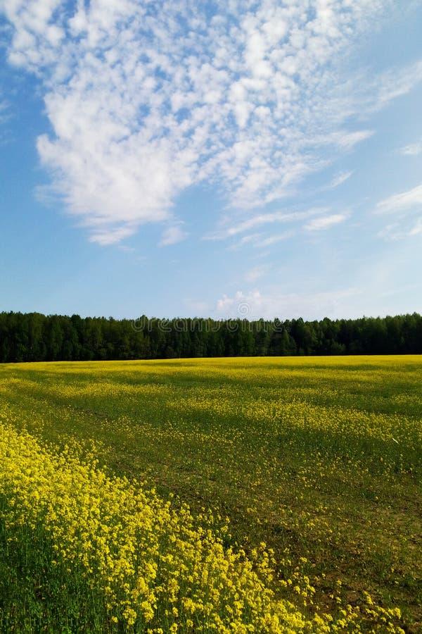 Grande pastagem da colza sob o céu azul e as nuvens brancas imagem de stock