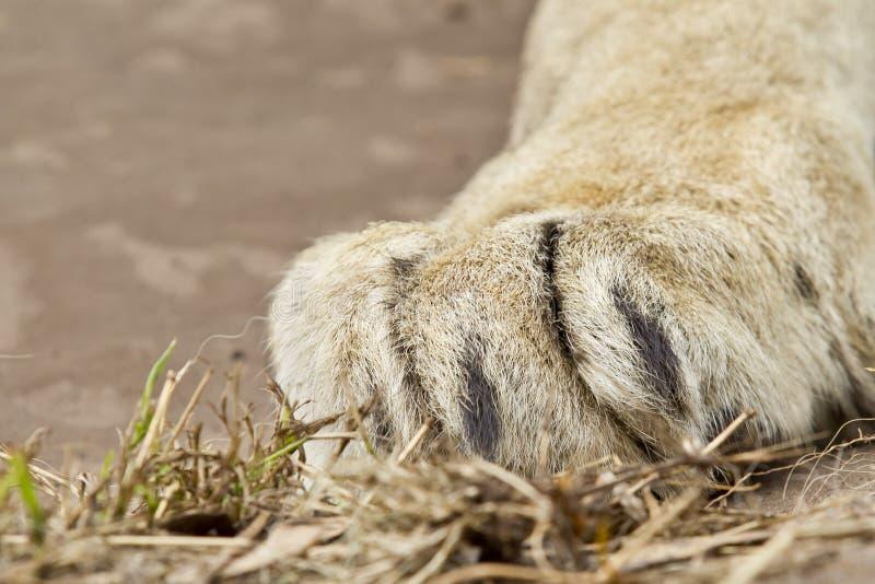 Grande patte blanche de lions se reposant sur une certaine herbe images libres de droits