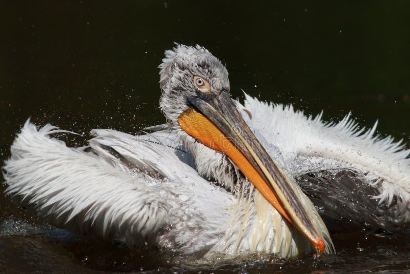 Grande pelicano branco imagens de stock