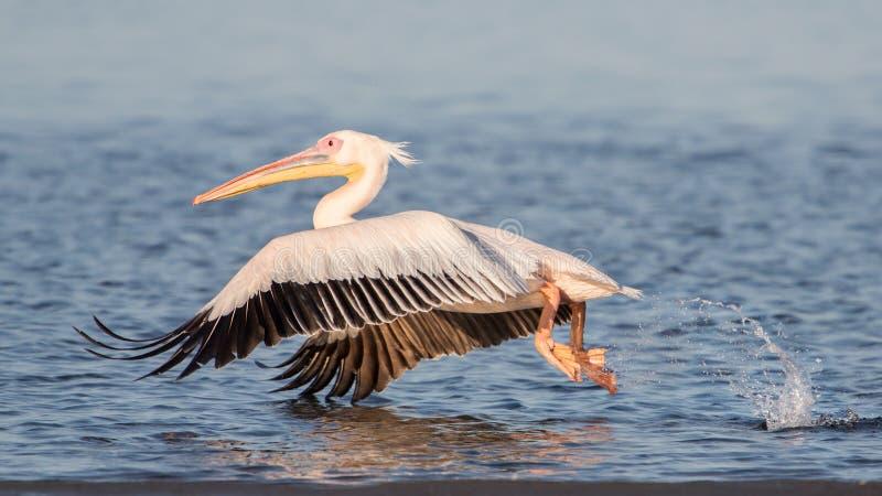 Grande pelicano branco que toma o voo, baía de Walvis, Namíbia fotografia de stock royalty free