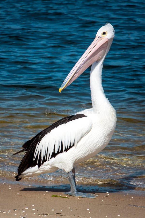 Grande pelicano na praia perto da água imagem de stock