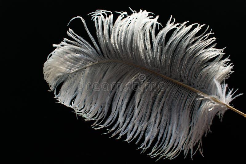Grande pena branca da avestruz no fundo preto imagem de stock royalty free