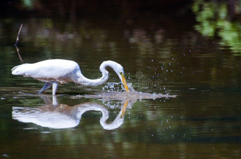 Grande pesca della spruzzata dell'egretta, Walton County Georgia immagini stock