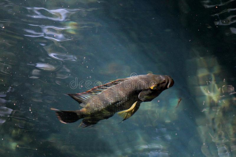 Grande pesce in acqua trasparente immagini stock libere da diritti
