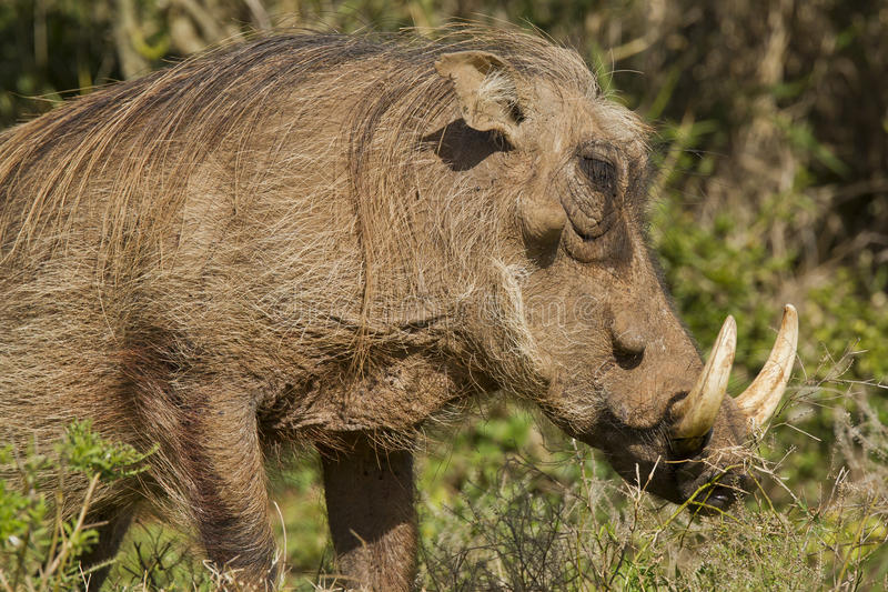 Grande phacochère avec les défenses enes ivoire énormes photographie stock libre de droits