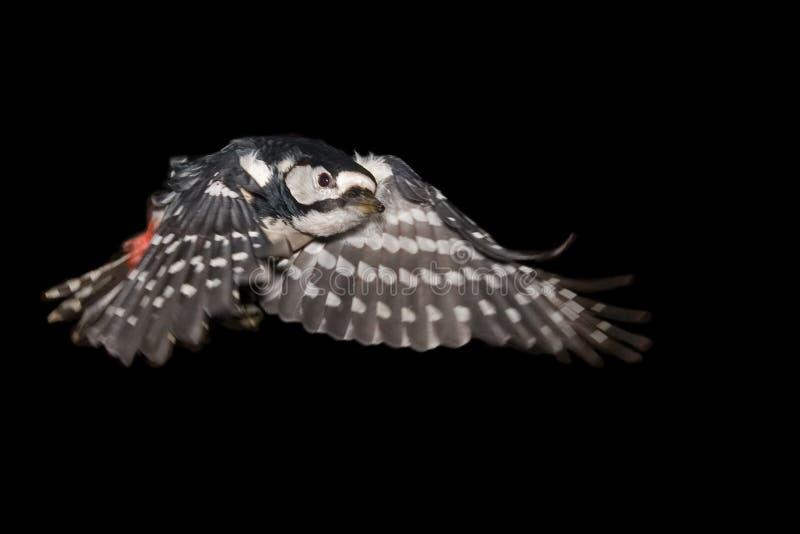 Grande pica-pau manchado de voo imagens de stock
