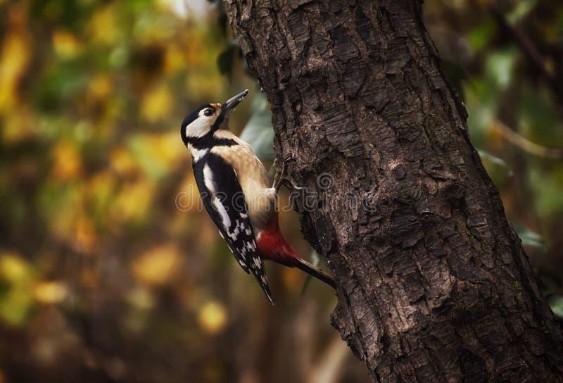 Grande pica-pau manchado em um tronco em uma floresta perto do rio Sile Treviso, Itália Cores do outono no backgroud imagem de stock