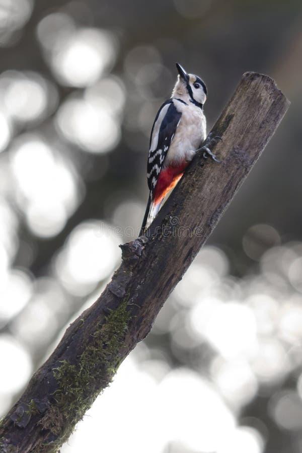 Grande pica-pau manchado em uma floresta fotos de stock