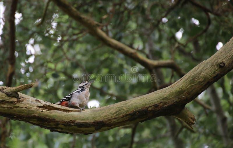 Grande pica-pau manchado (major de Dendrocopos) que senta-se em um ramo foto de stock royalty free