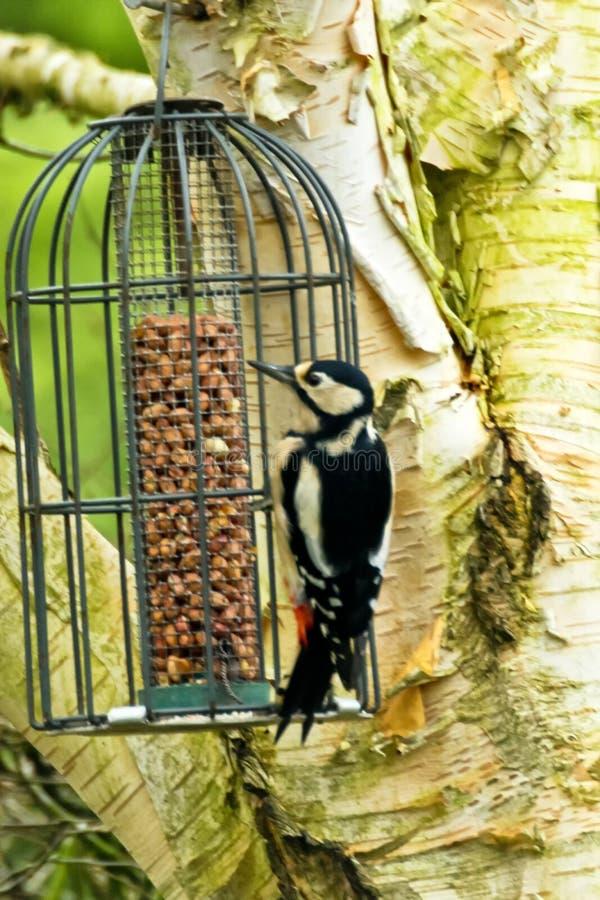 Grande pica-pau manchado no alimentador do pássaro fotografia de stock royalty free