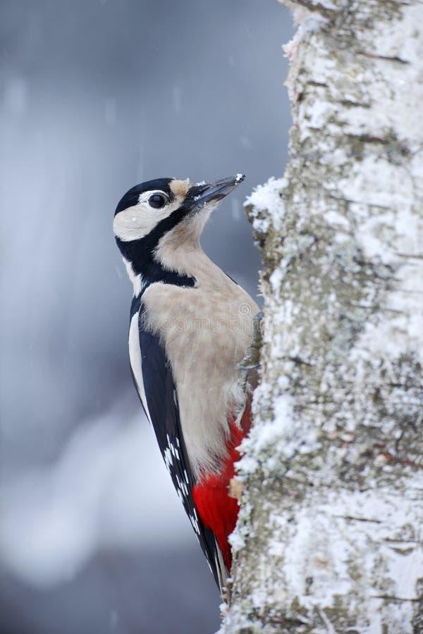 Grande pica-pau manchado que senta-se no tronco de árvore com neve durante o inverno imagens de stock