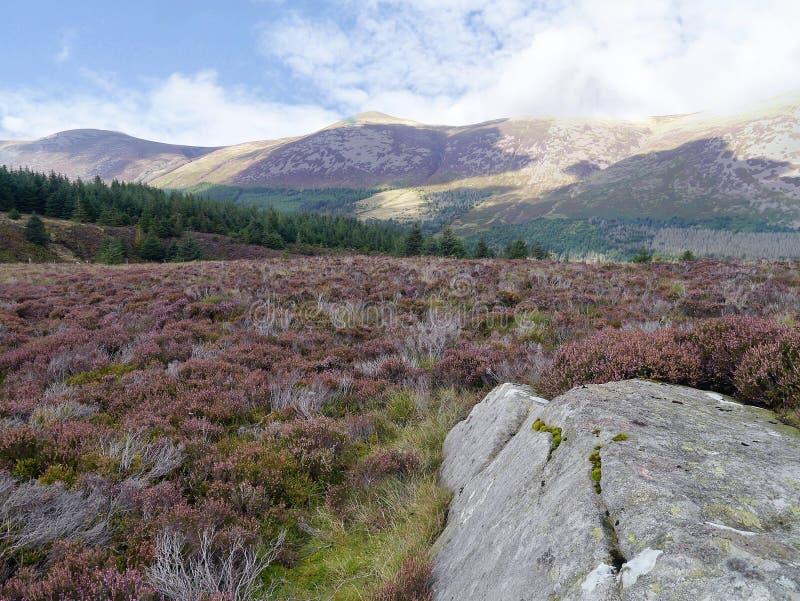 Grande pierre sur le plateau de bruyère avec la forêt d'Ennerdale plus en arrière photos libres de droits