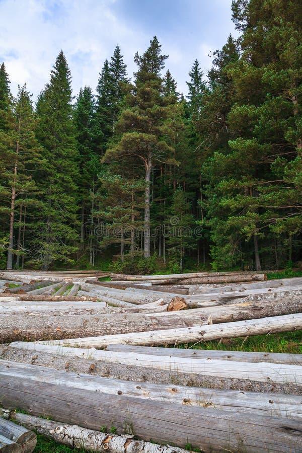 Grande pile des troncs d'arbre massifs à côté de la forêt pendant l'automne image stock