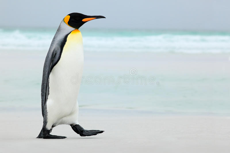 Grande pinguino di re che va all'acqua blu, l'Oceano Atlantico in Falkland Island, uccello di mare della costa nell'habitat della