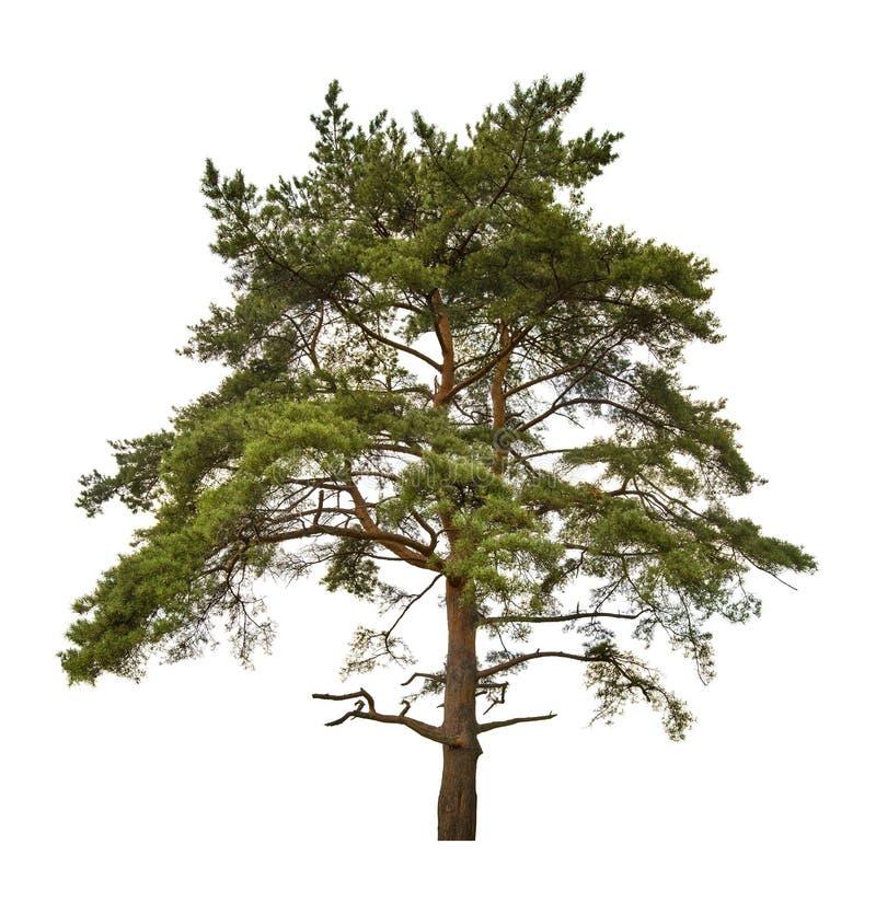 Grande pinho velho isolado no branco foto de stock