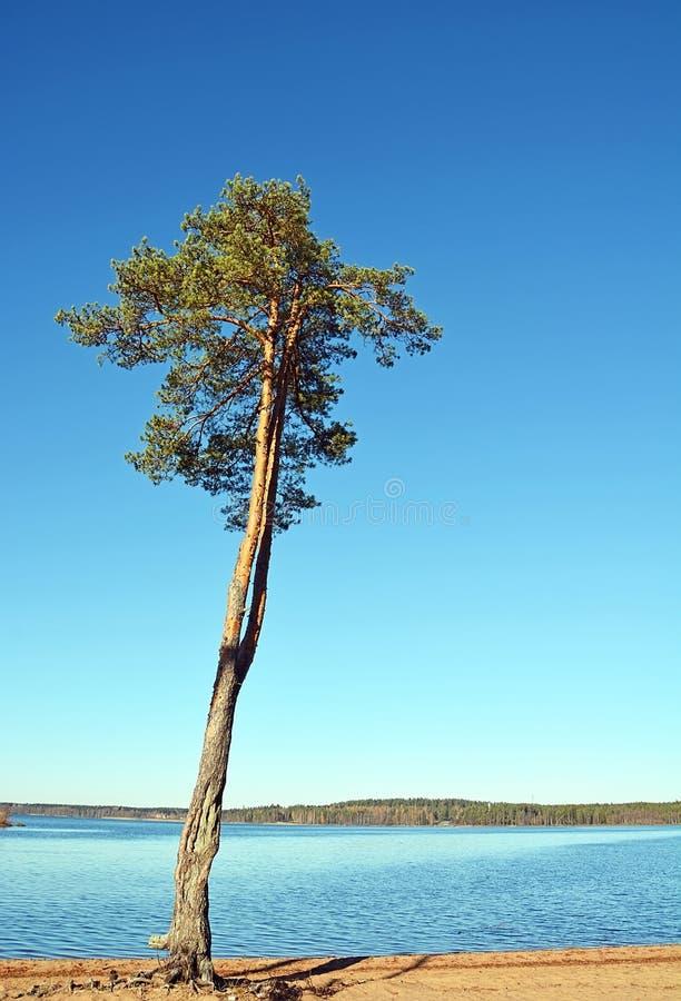 Grande pino fotografia stock