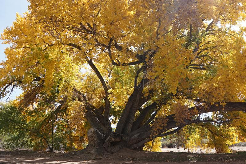 Grande pioppo con le foglie gialle immagine stock