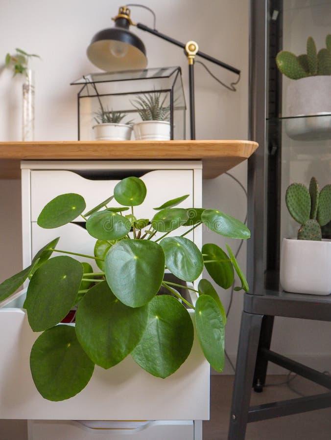 Grande planta da panqueca em uma sala de estudo preto e branco industrial com numeroso outros houseplants verdes fotografia de stock