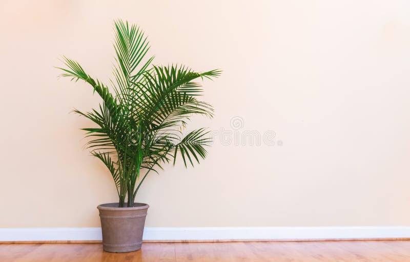 Grande planta interna da palma em uma sala amarela imagens de stock