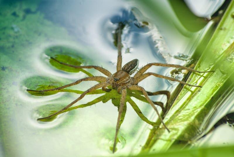 Grande plantarius di Dolomedes del ragno dell'acqua, primo piano in un ambiente naturale Ragno della zattera fotografia stock libera da diritti