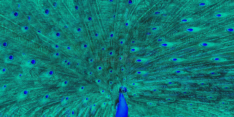 Grande plume de vert bleu de paon photographie stock