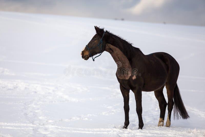 Grande position brune foncée de cheval dans la neige photo stock
