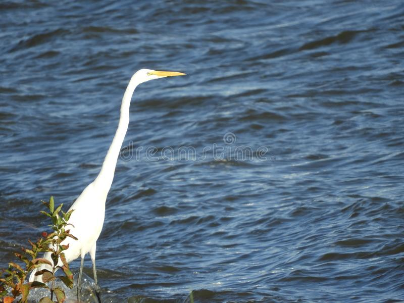 Grande position de héron au bord du lac photographie stock libre de droits
