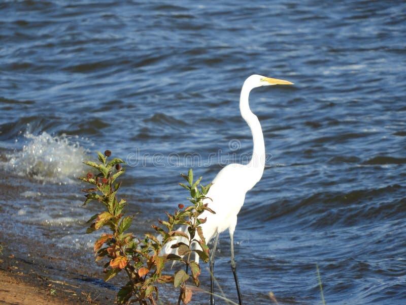 Grande position de héron au bord du lac image libre de droits