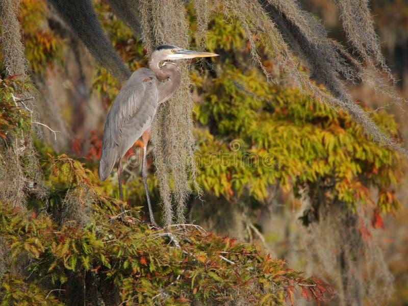Grande position de héron bleu sur un arbre de cyprès dans le lac Martin photographie stock libre de droits