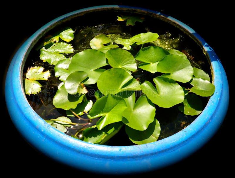 Grande potenciômetro azul de lírios de água imagens de stock