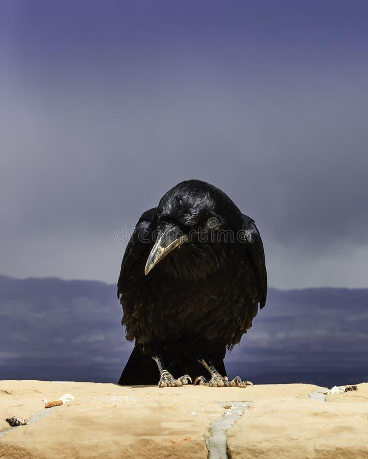 Grande primo piano del corvo fotografie stock