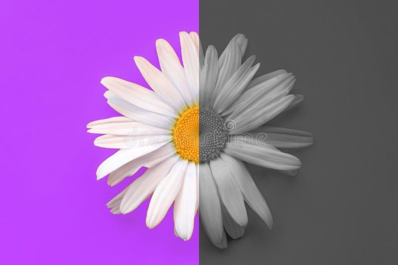 Grande primo piano della margherita su un fondo porpora Mezza camomilla a colori, mezza camomilla in bianco e nero Il concetto de fotografia stock