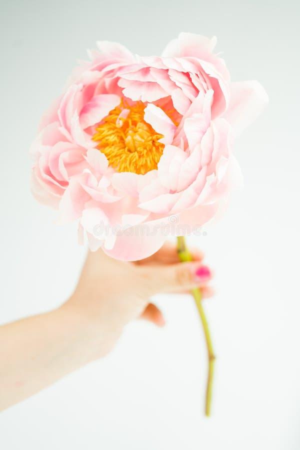 Grande primo piano di Pale Pink Blush Peony Flower fotografie stock