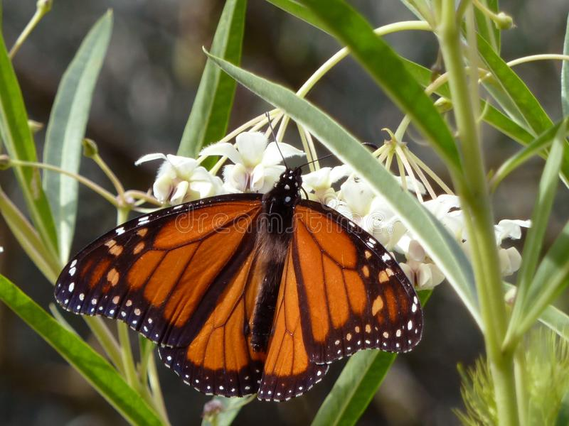 Grande primo piano tropicale della farfalla fotografia stock