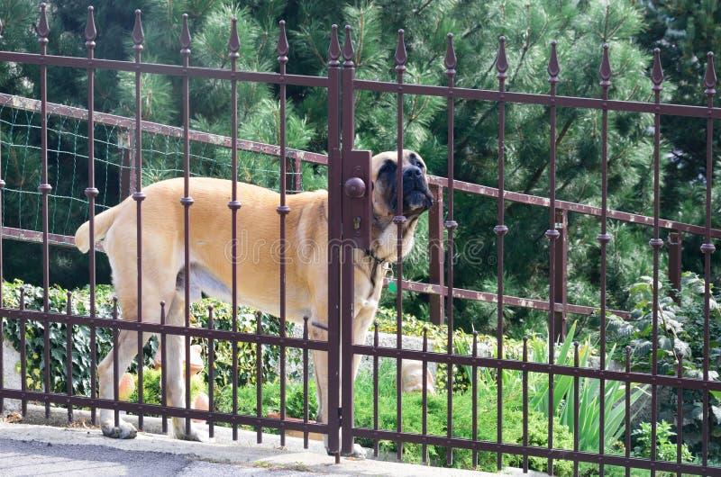 Grande protetor Dog Behind Fence imagens de stock