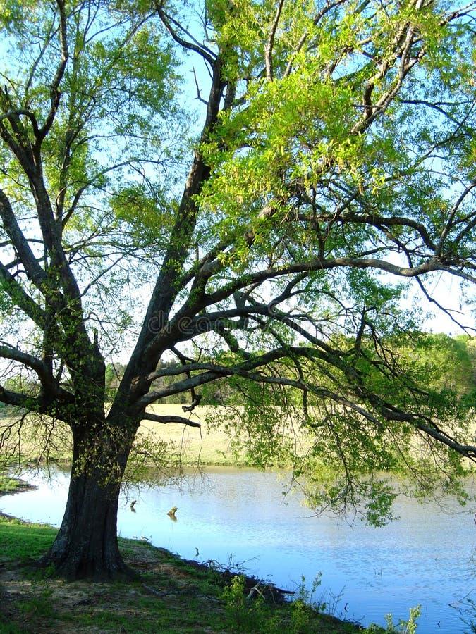 Grande quercia accanto allo stagno nel Mississippi rurale fotografia stock
