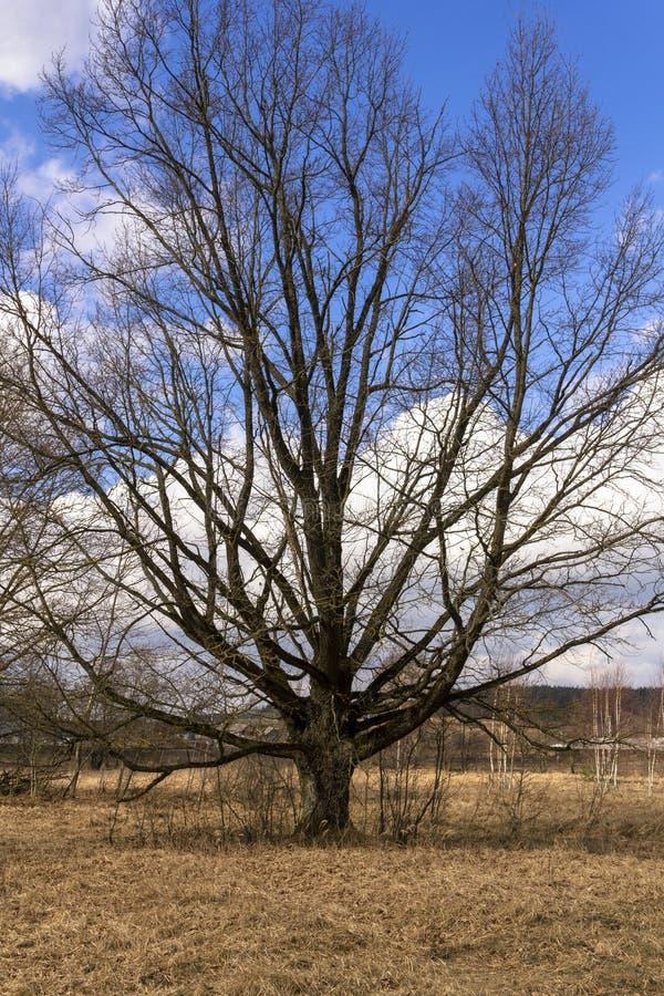 Grande quercia alta senza foglie contro il cielo blu e l'erba gialla di autunno - paesaggio di autunno, campagna fotografia stock libera da diritti
