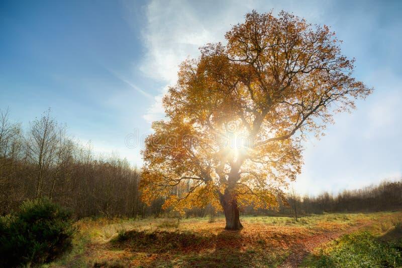 Grande quercia in autunno fotografie stock libere da diritti