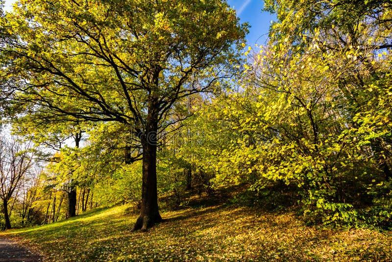 Grande quercia di autunno con le foglie gialle immagini stock