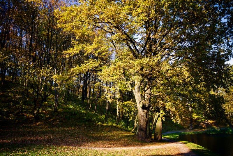 Grande quercia di autunno con le foglie gialle fotografia stock