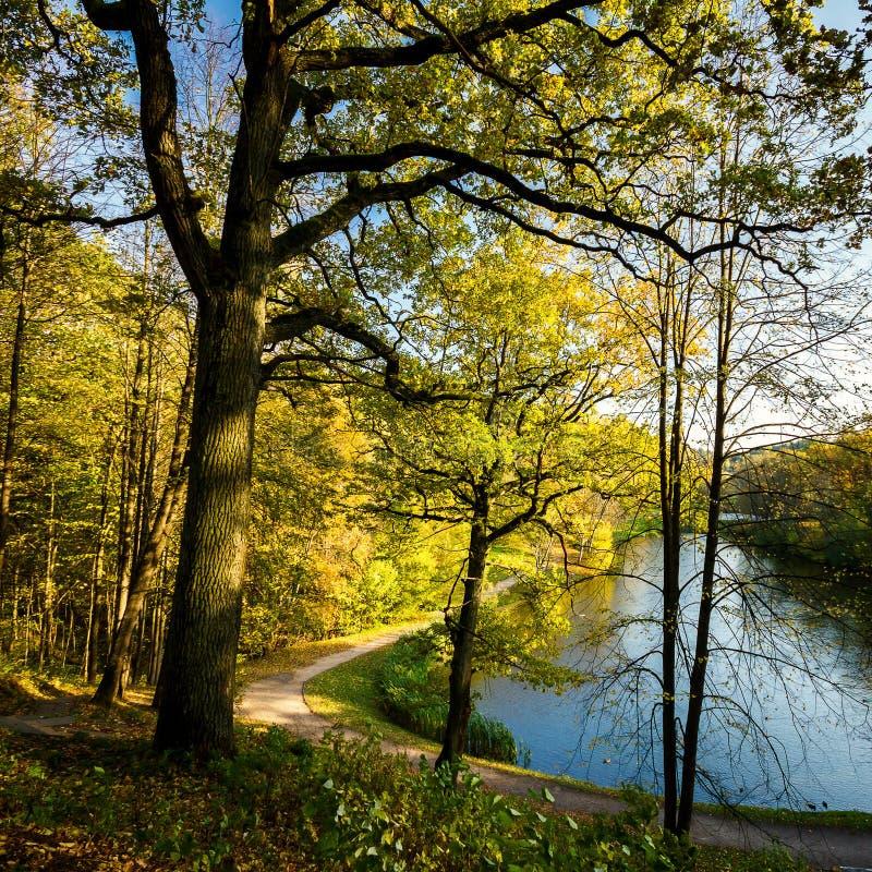 Grande quercia di autunno con le foglie gialle immagine stock libera da diritti