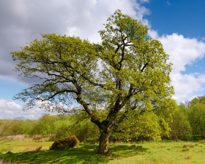 Grande quercia in primavera fotografie stock