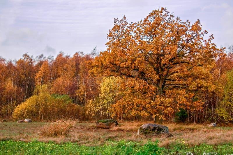 Grande quercia spessa elegante nella caduta in foglie dell'oro contro lo sfondo della foresta della betulla di autunno immagini stock libere da diritti